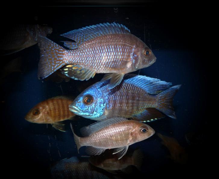 Aulonocara hansbaenschi Männchen und Weibchen uvenil