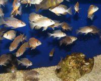 Jungfische Aulonocara