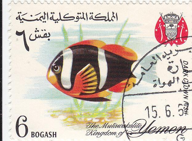 Dunkler Dreibindenfisch (Amphibion xanthurus)