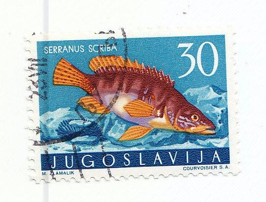 Schriftbarsch (Serranus scirba)