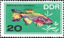 Blauer Prachtkärpfling (Aphyosemion coeruleum)