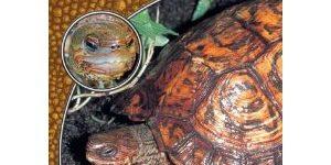 Die Pracht-Erdschildkröte, Rhinoclemmys pulcherrima
