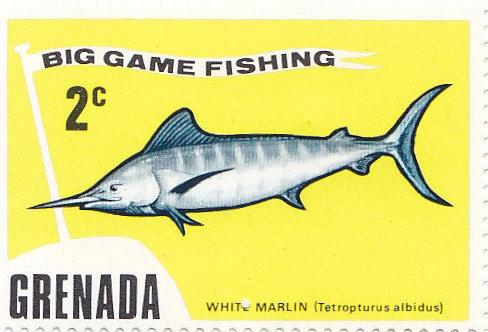 White Marlin (Tetropterus albidus)