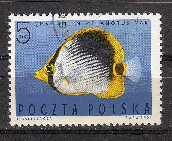 Gestreifter Falterfisch (Cheatodon melanotus)