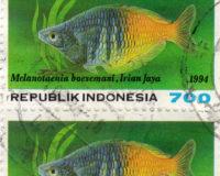 Boesemanns Regenbogenfisch (Melanotaenia boesemani)