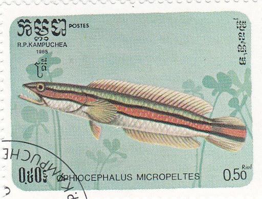 Rotband Schlangenkopffisch (Channa micropeltes)