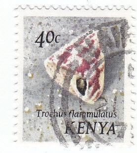 Spitzenschnecke (Trochus flammulatus)