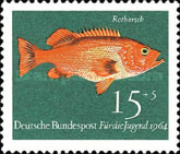 Kleiner Rotbarsch (Sebastes viviparus)
