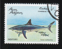 Mako (Isurus oxyrhynchus) Hering-oder-Makrelenhai