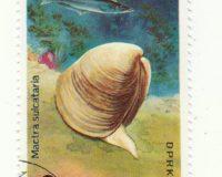 Trogmuschel (Mactra sulcataria)