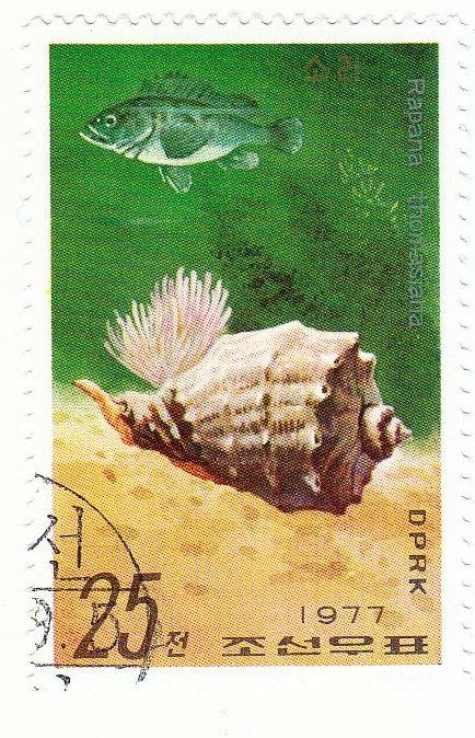 Knotige Schnecke (Rapana thomasiana)