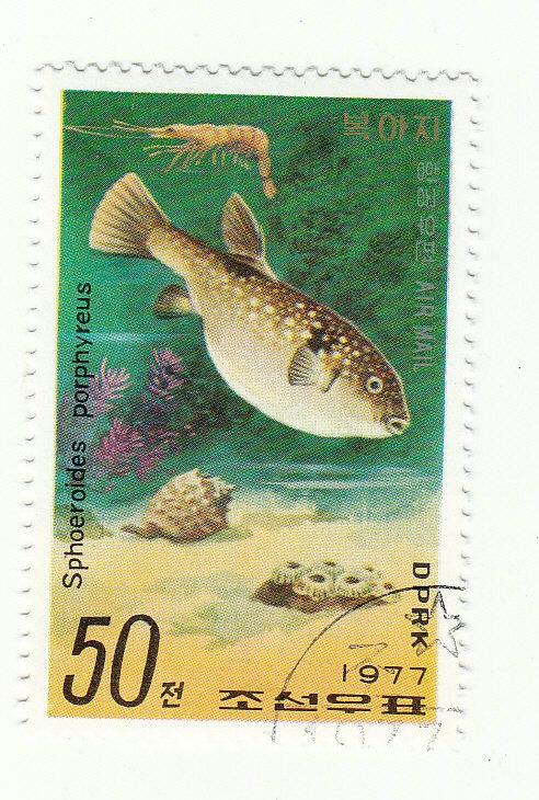 Kugelfisch (Korea) (Sphoeroides porphyreus)