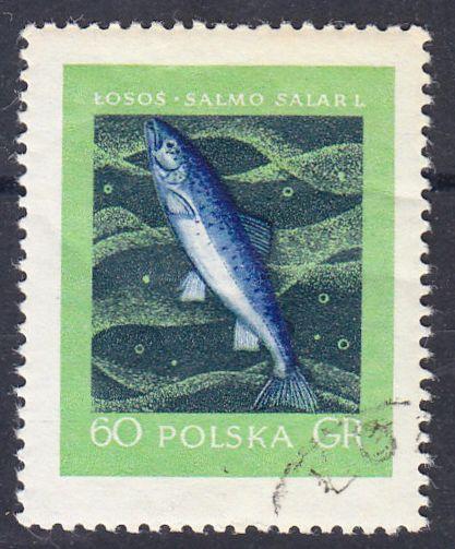 Atlantischer Lachs (Salmo salar l.)