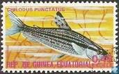 Punktierter Kopfsteher (Cilodus punctatus)
