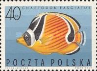 Gebänderter Falterfisch (Chaetodon fasciatus)