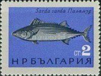 Sardinischer Tunfisch (Sarda mediterranea)