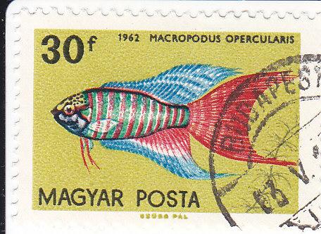 Paradiesfisch  (Makropodus opercularis)