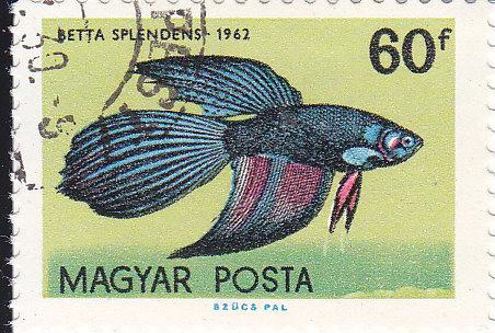Kampffisch Betta splendens)