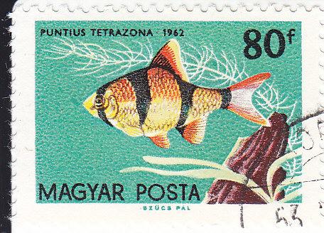 Sumatrabarbe  (Puntius tetrazona)