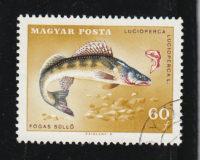 Zander (Lucioperca lucioperca)