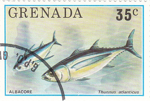 Schwarzflossen Thunfisch (Thunnus atlanticus)