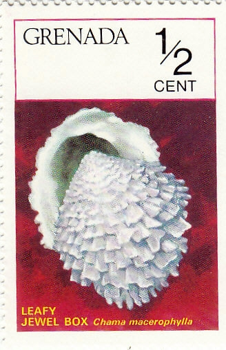 Belaubte Edelsteinmuschel (Chama macerophylla)