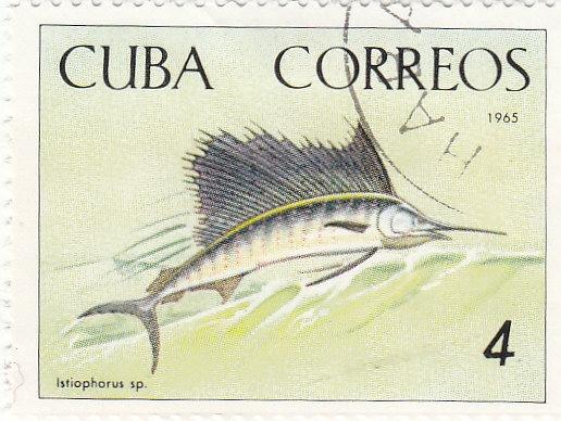 Fächer- Segelfisch (Istiophorus sp.)