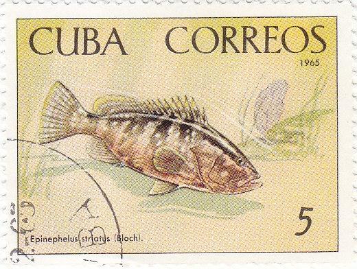Nassau-Zackenbarsch (Epinephelus striatus)
