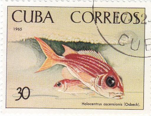 Gelbflossen-Eichhörnchenfisch (Holocentrus ascensionis)