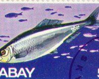 Atlantischer Hering (Clupea harengus)