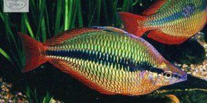 Regenbogenfische